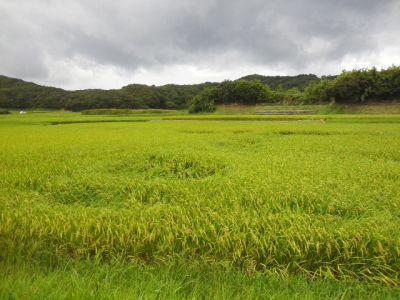 campo di riso.jpg