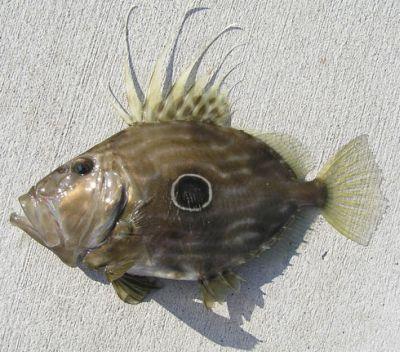pesce sampietro.jpg