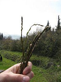 asparagi13.JPG