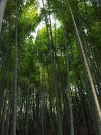 bamboooooo14.JPG